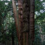 樹齢800年の杉を触ると暖かい気持ちになる
