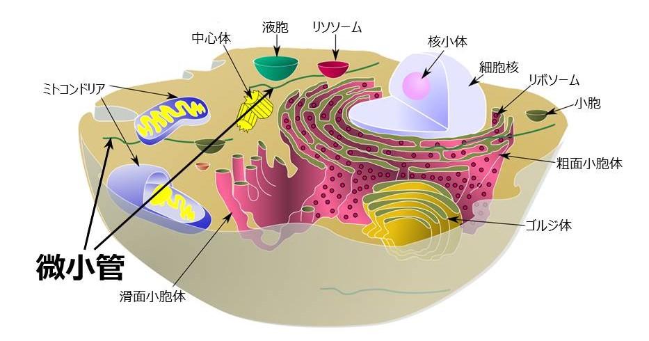 微小管-Wikipedia より