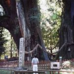杉の大杉(八坂神社内)
