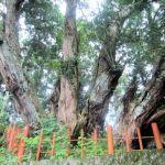 八ツ房杉(桜実神社)